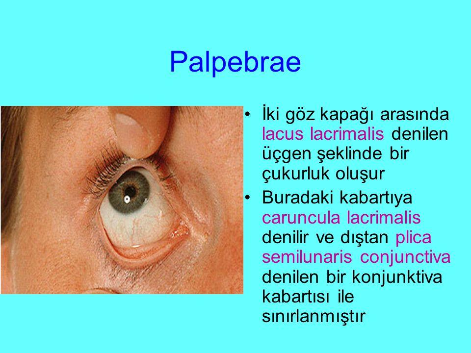 Palpebrae İki göz kapağı arasında lacus lacrimalis denilen üçgen şeklinde bir çukurluk oluşur.