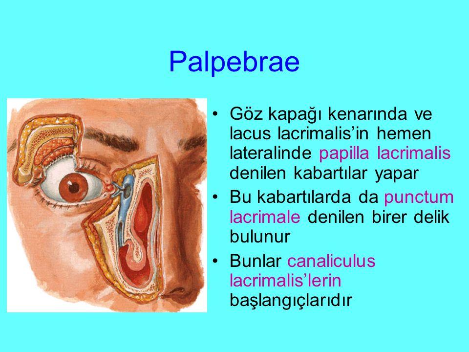 Palpebrae Göz kapağı kenarında ve lacus lacrimalis'in hemen lateralinde papilla lacrimalis denilen kabartılar yapar.