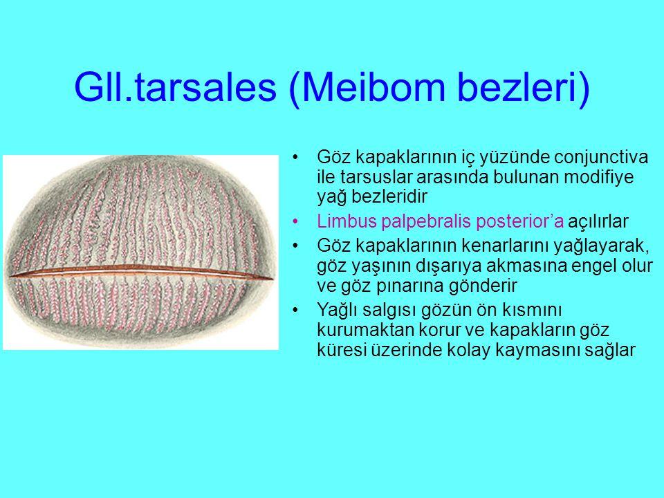 Gll.tarsales (Meibom bezleri)