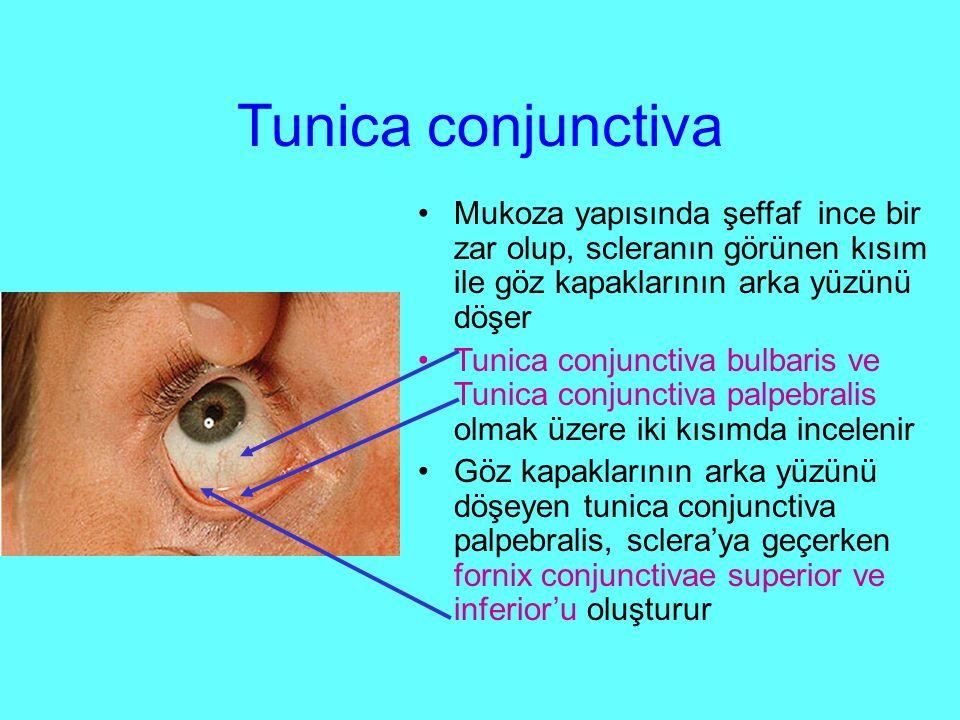 Tunica conjunctiva Mukoza yapısında şeffaf ince bir zar olup, scleranın görünen kısım ile göz kapaklarının arka yüzünü döşer.