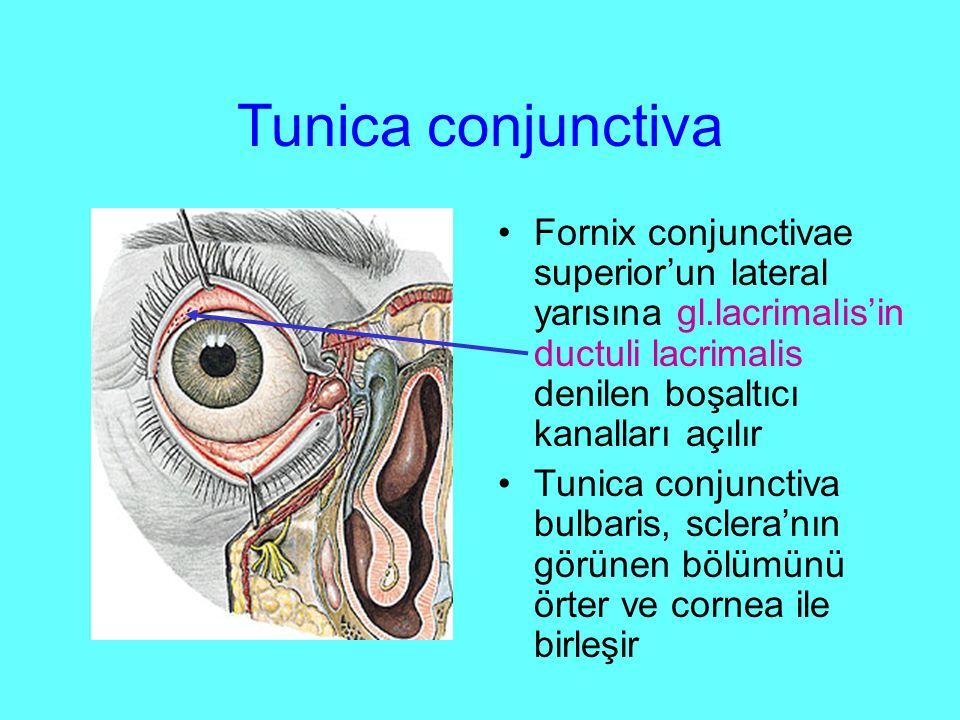 Tunica conjunctiva Fornix conjunctivae superior'un lateral yarısına gl.lacrimalis'in ductuli lacrimalis denilen boşaltıcı kanalları açılır.