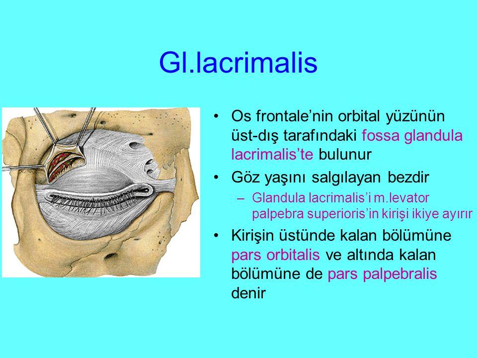 Gl.lacrimalis Os frontale'nin orbital yüzünün üst-dış tarafındaki fossa glandula lacrimalis'te bulunur.