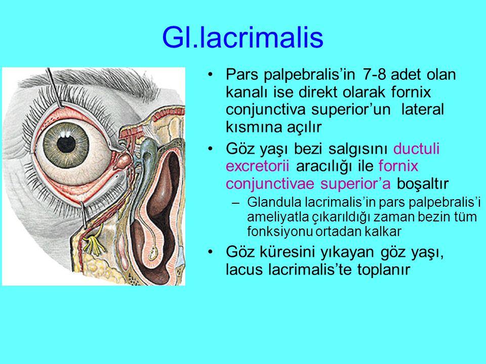 Gl.lacrimalis Pars palpebralis'in 7-8 adet olan kanalı ise direkt olarak fornix conjunctiva superior'un lateral kısmına açılır.