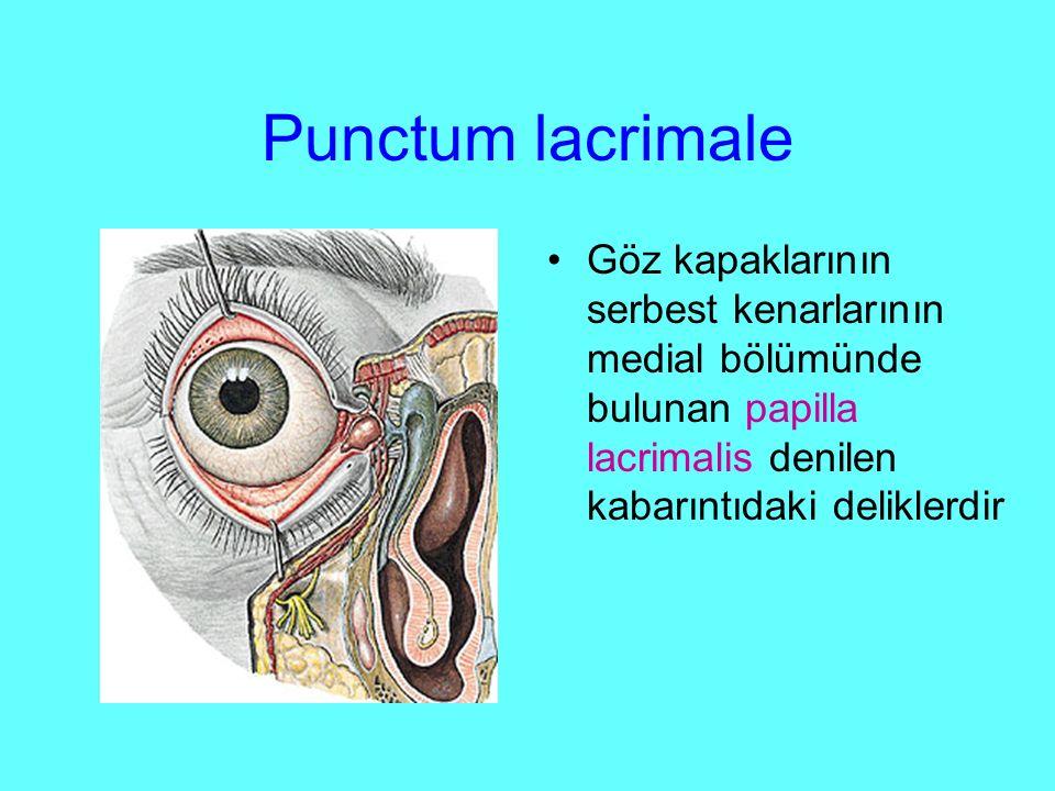 Punctum lacrimale Göz kapaklarının serbest kenarlarının medial bölümünde bulunan papilla lacrimalis denilen kabarıntıdaki deliklerdir.