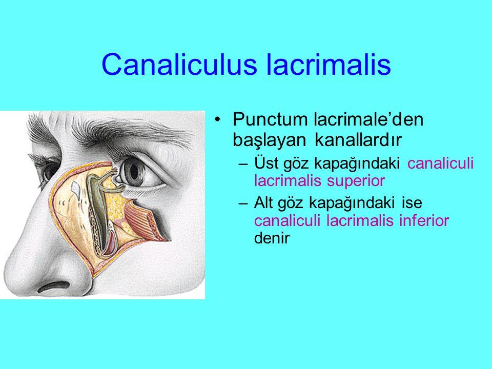 Canaliculus lacrimalis
