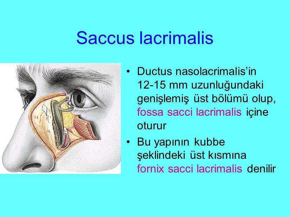 Saccus lacrimalis Ductus nasolacrimalis'in 12-15 mm uzunluğundaki genişlemiş üst bölümü olup, fossa sacci lacrimalis içine oturur.