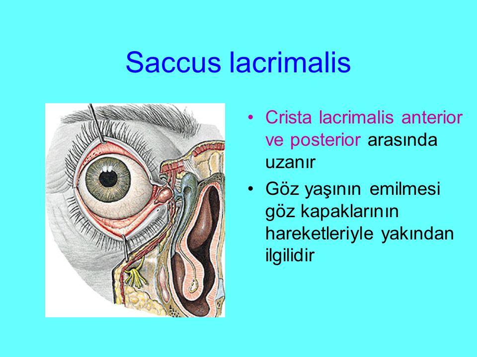 Saccus lacrimalis Crista lacrimalis anterior ve posterior arasında uzanır.