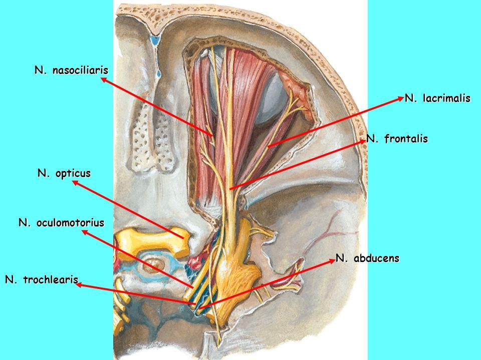 N. nasociliaris N. lacrimalis N. frontalis N. opticus N. oculomotorius N. abducens N. trochlearis