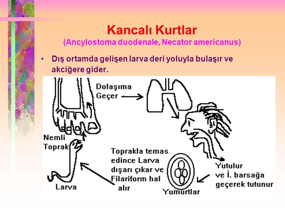 Kancalı Kurtlar (Ancylostoma duodenale, Necator americanus)