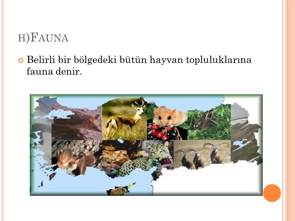 h)Fauna Belirli bir bölgedeki bütün hayvan topluluklarına fauna denir.