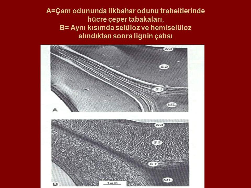A=Çam odununda ilkbahar odunu traheitlerinde hücre çeper tabakaları, B= Aynı kısımda selüloz ve hemiselüloz alındıktan sonra lignin çatısı