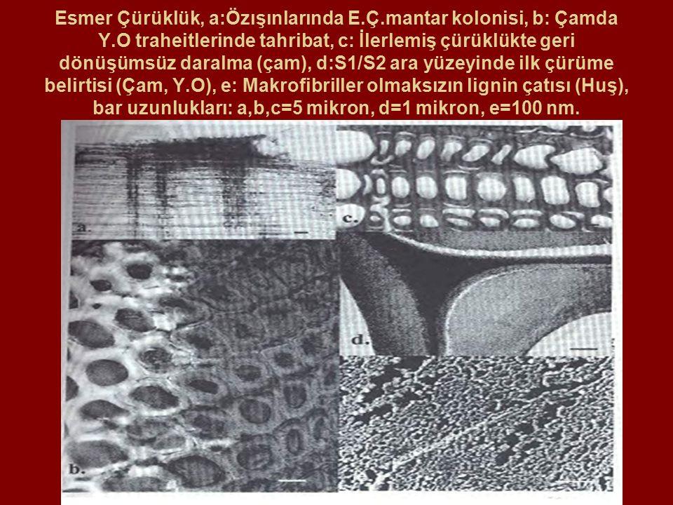 Esmer Çürüklük, a:Özışınlarında E. Ç. mantar kolonisi, b: Çamda Y