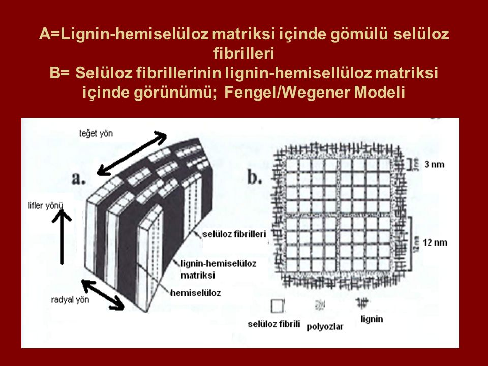 A=Lignin-hemiselüloz matriksi içinde gömülü selüloz fibrilleri B= Selüloz fibrillerinin lignin-hemisellüloz matriksi içinde görünümü; Fengel/Wegener Modeli