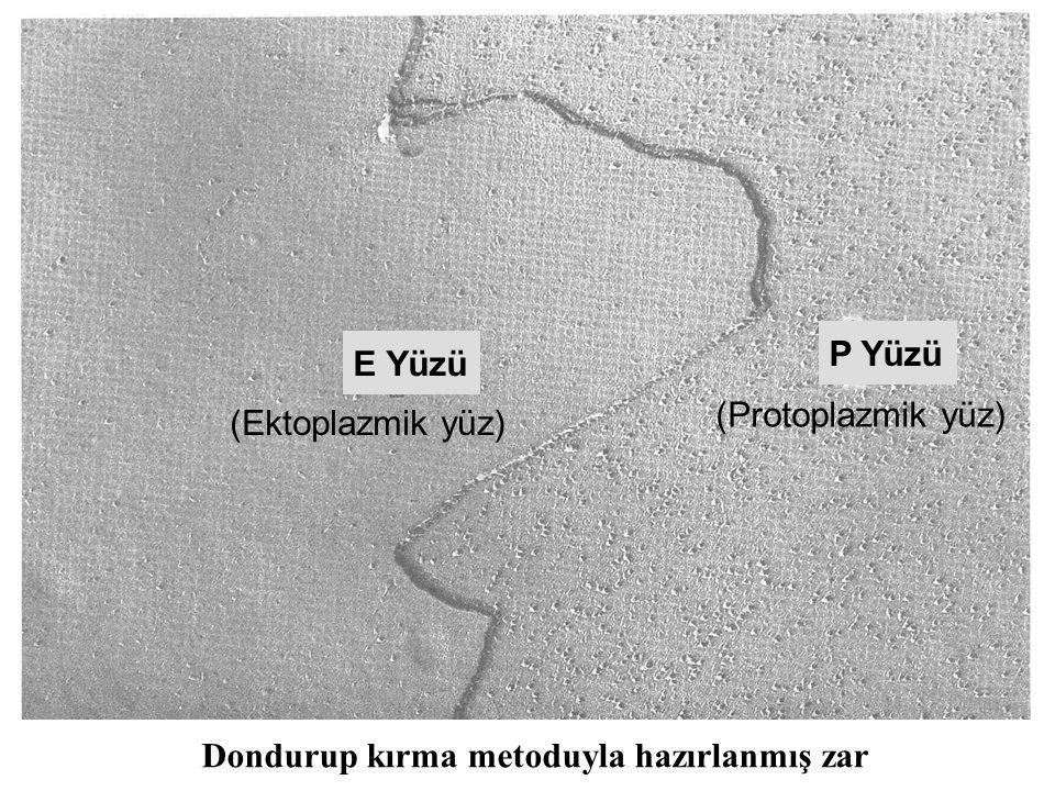 P Yüzü E Yüzü (Protoplazmik yüz) (Ektoplazmik yüz) Dondurup kırma metoduyla hazırlanmış zar