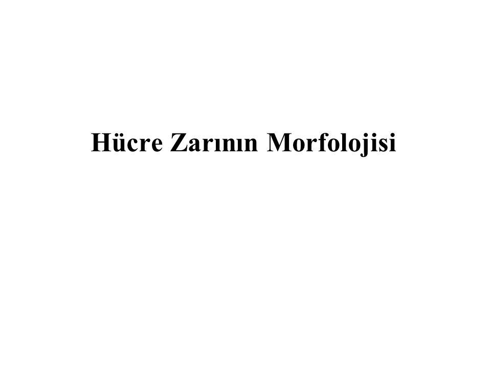 Hücre Zarının Morfolojisi