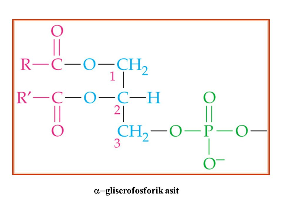 a-gliserofosforik asit