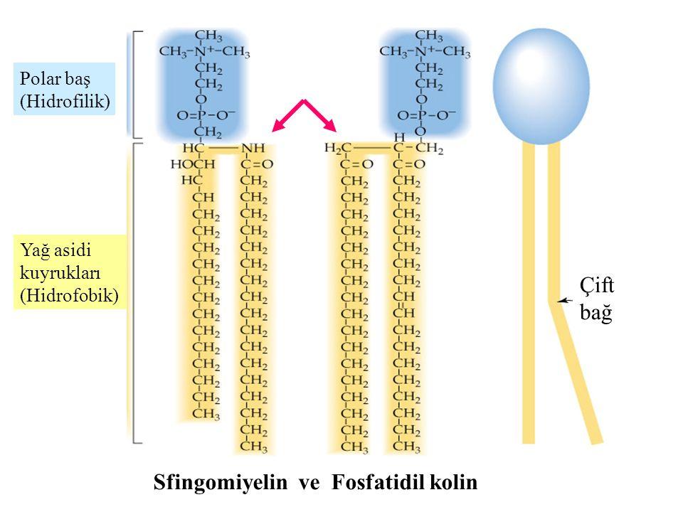 Sfingomiyelin ve Fosfatidil kolin