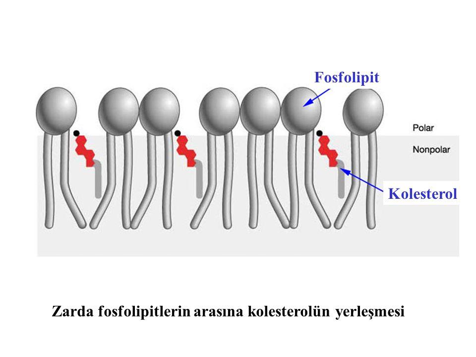 Fosfolipit Kolesterol Zarda fosfolipitlerin arasına kolesterolün yerleşmesi