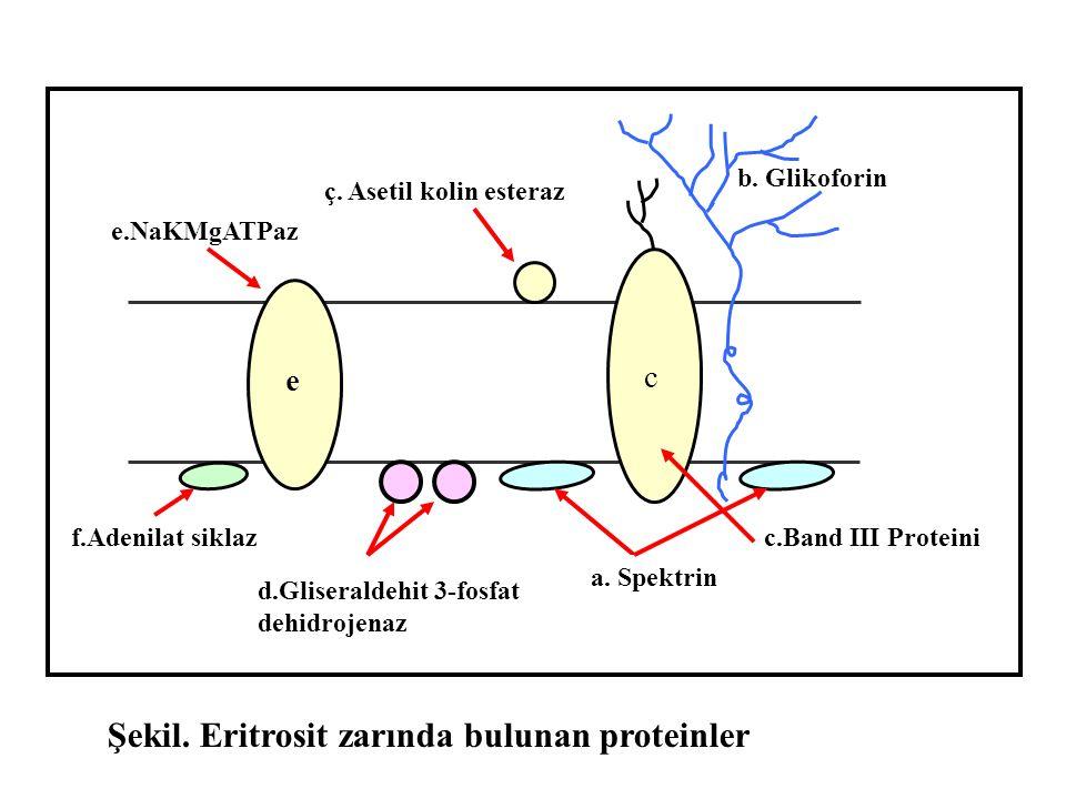 Şekil. Eritrosit zarında bulunan proteinler