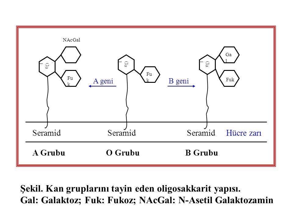 Şekil. Kan gruplarını tayin eden oligosakkarit yapısı.
