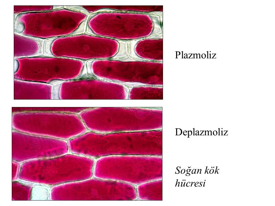 Plazmoliz Deplazmoliz Soğan kök hücresi