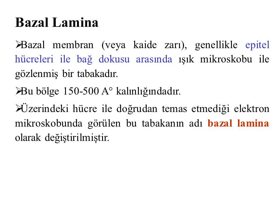 Bazal Lamina Bazal membran (veya kaide zarı), genellikle epitel hücreleri ile bağ dokusu arasında ışık mikroskobu ile gözlenmiş bir tabakadır.