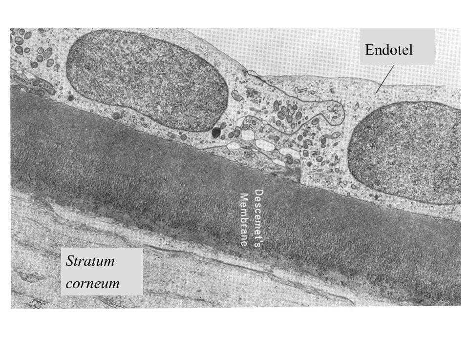 Endotel Stratum corneum