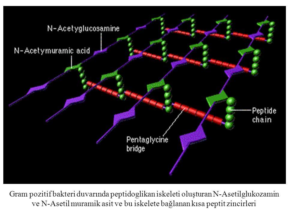 Gram pozitif bakteri duvarında peptidoglikan iskeleti oluşturan N-Asetilglukozamin ve N-Asetil muramik asit ve bu iskelete bağlanan kısa peptit zincirleri