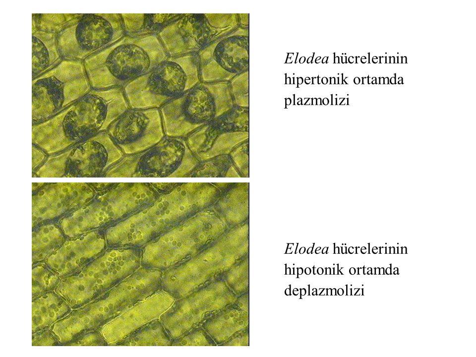 Elodea hücrelerinin hipertonik ortamda plazmolizi