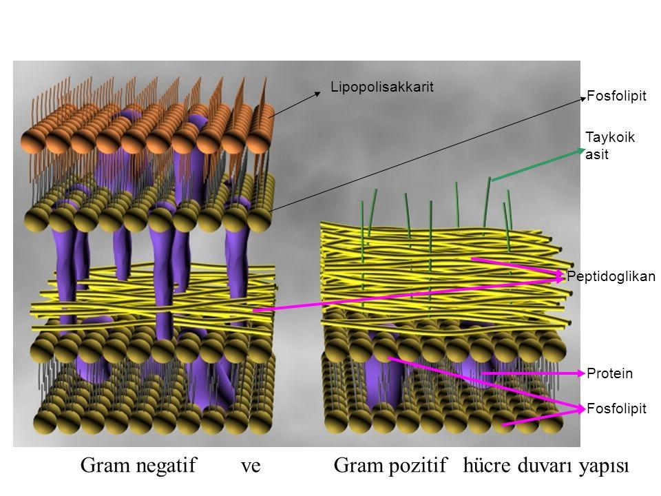 Gram negatif ve Gram pozitif hücre duvarı yapısı
