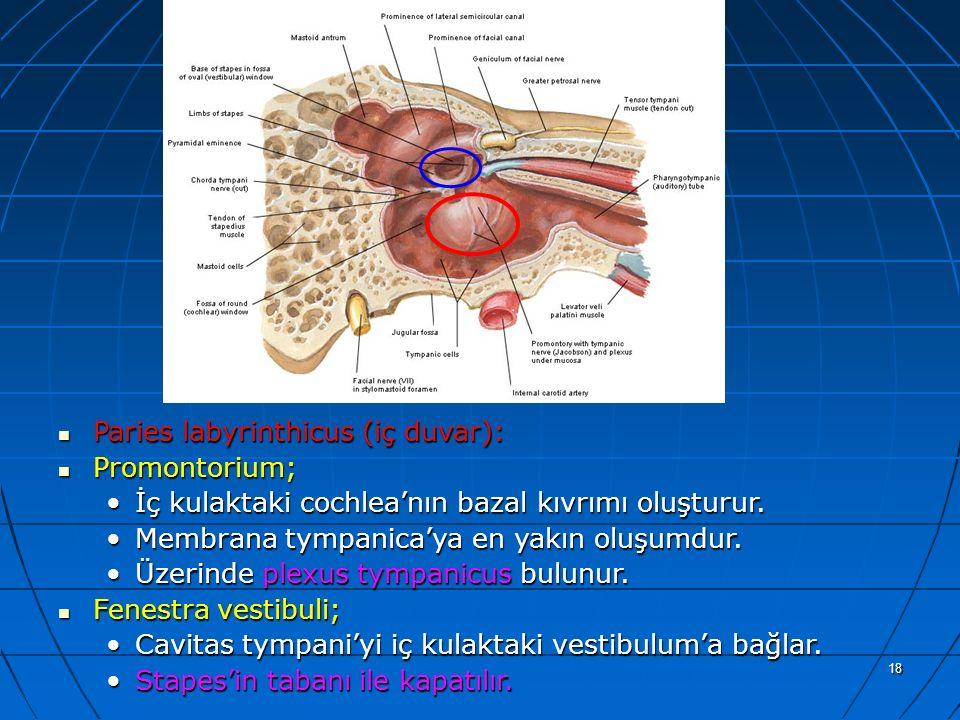 a Paries labyrinthicus (iç duvar): Promontorium;