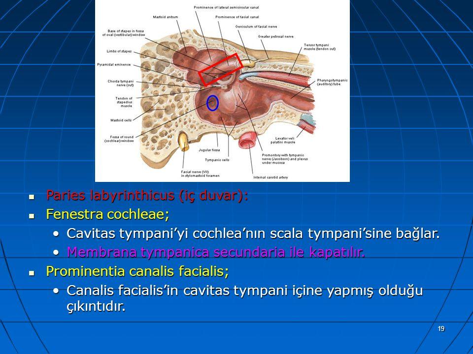 a Paries labyrinthicus (iç duvar): Fenestra cochleae;