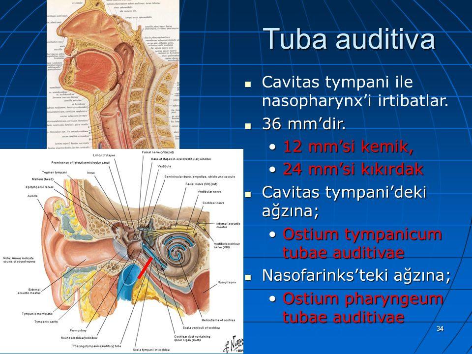 Tuba auditiva Cavitas tympani ile nasopharynx'i irtibatlar. 36 mm'dir.
