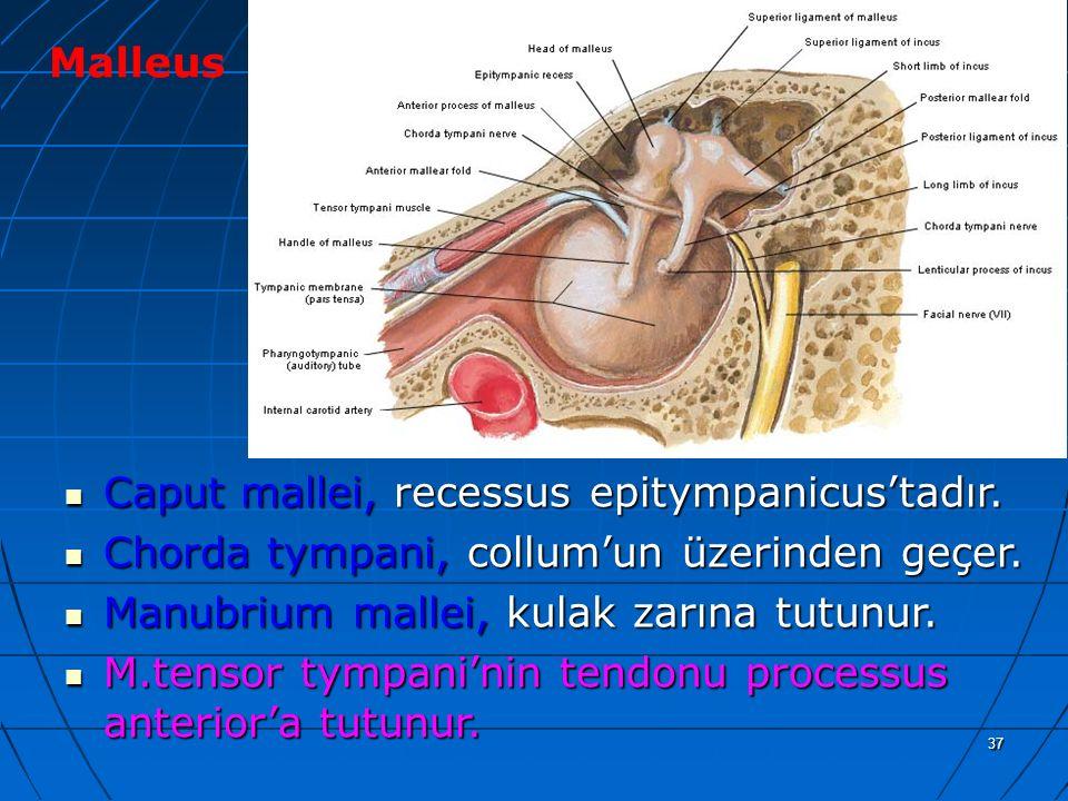 a Malleus Caput mallei, recessus epitympanicus'tadır.