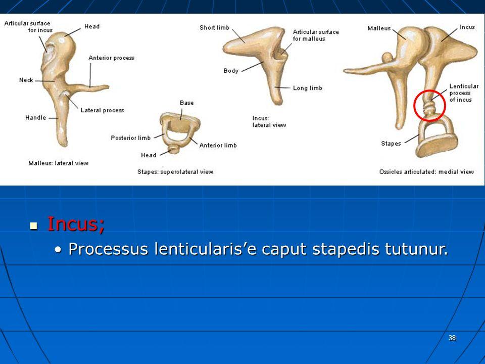 a Incus; Processus lenticularis'e caput stapedis tutunur. 38