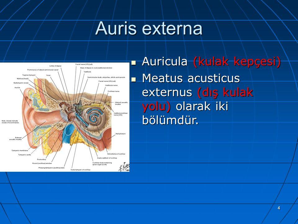Auris externa Auricula (kulak kepçesi)