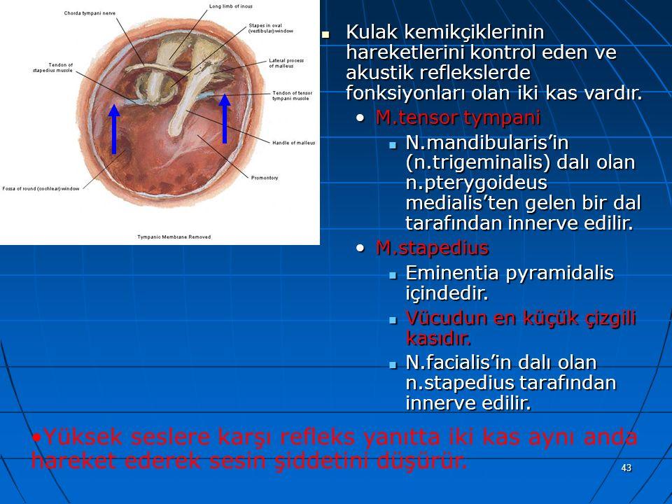 a Kulak kemikçiklerinin hareketlerini kontrol eden ve akustik reflekslerde fonksiyonları olan iki kas vardır.
