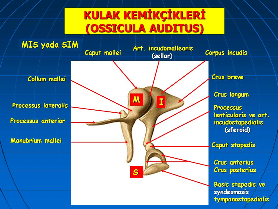 KULAK KEMİKÇİKLERİ (OSSICULA AUDITUS)