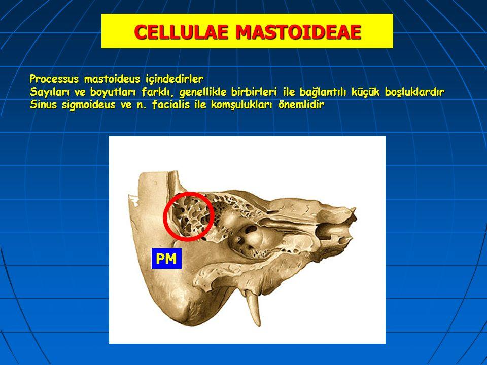 CELLULAE MASTOIDEAE PM Processus mastoideus içindedirler