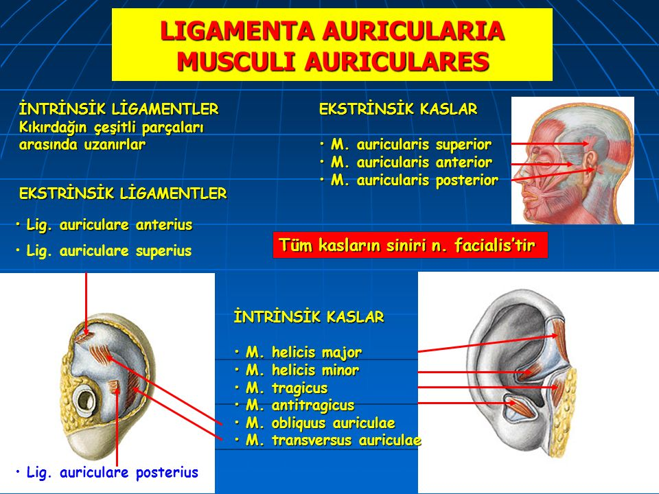 LIGAMENTA AURICULARIA MUSCULI AURICULARES