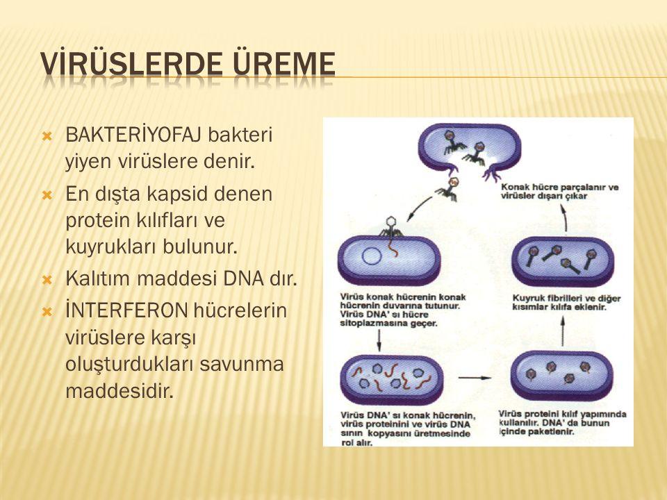 VİRÜSLERDE ÜREME BAKTERİYOFAJ bakteri yiyen virüslere denir.