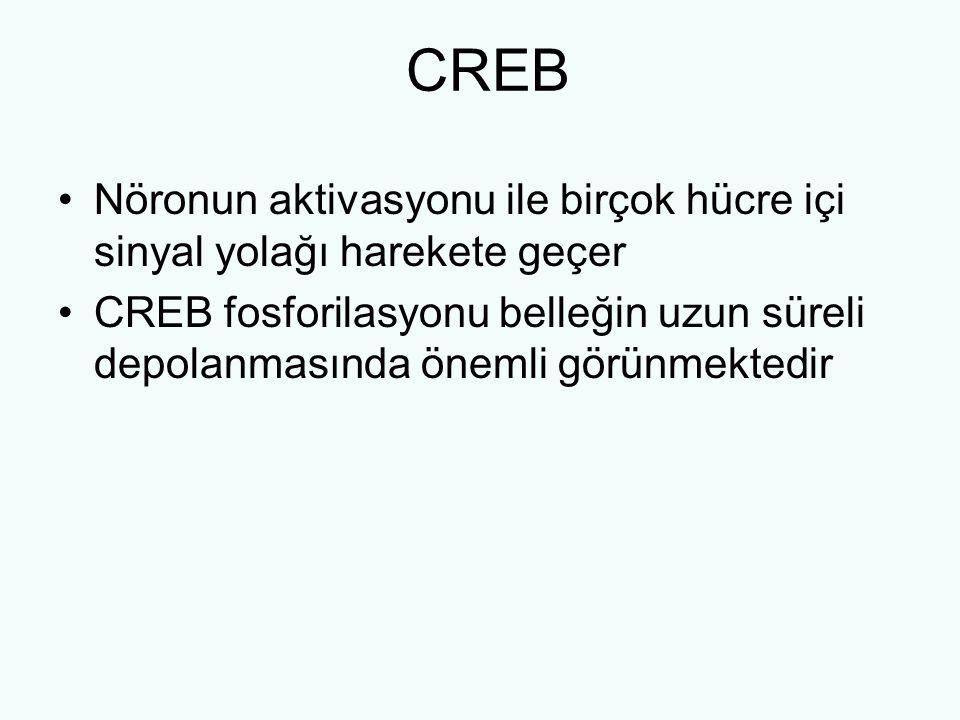 CREB Nöronun aktivasyonu ile birçok hücre içi sinyal yolağı harekete geçer.
