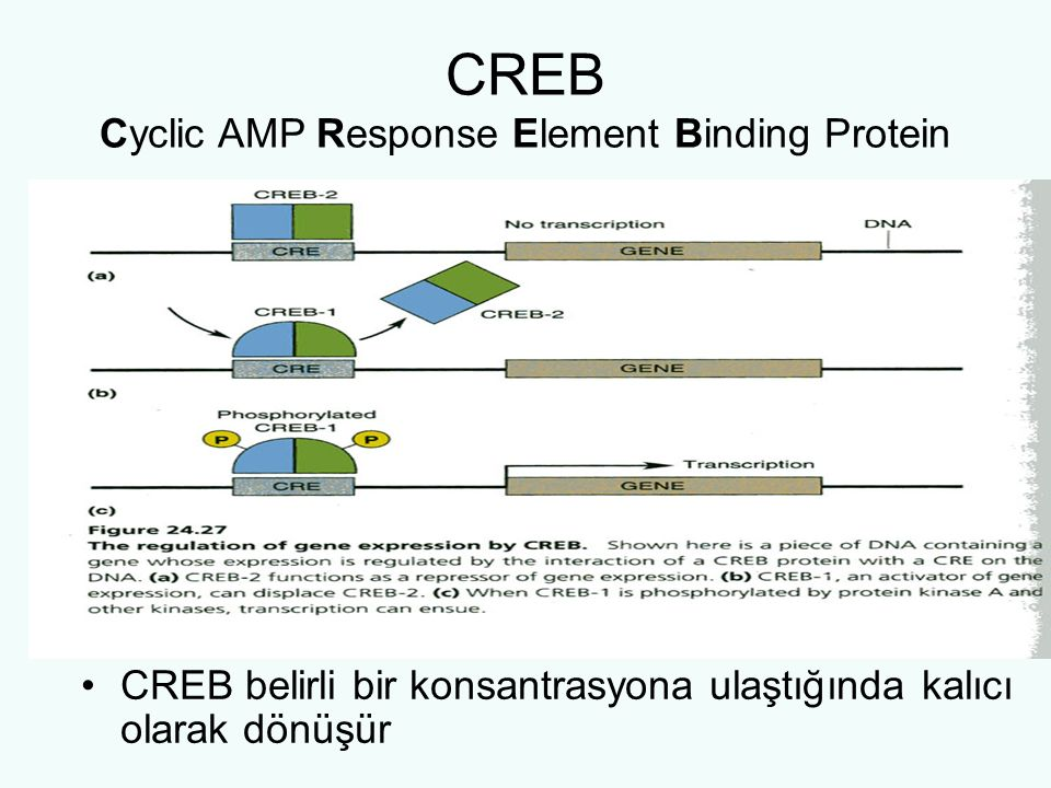 CREB Cyclic AMP Response Element Binding Protein
