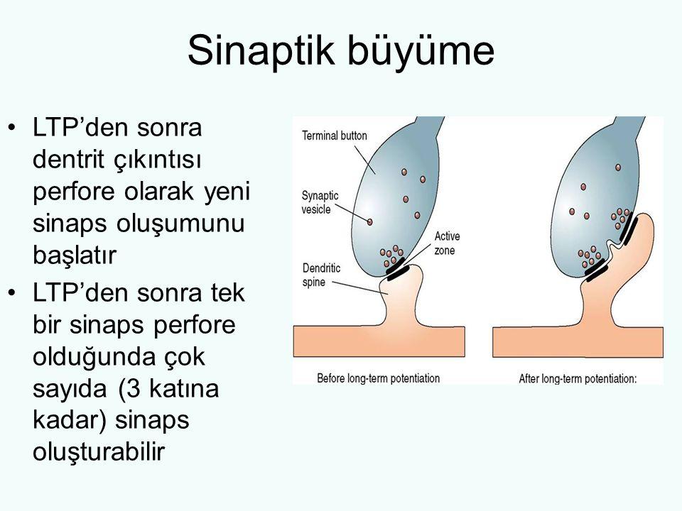 Sinaptik büyüme LTP'den sonra dentrit çıkıntısı perfore olarak yeni sinaps oluşumunu başlatır.