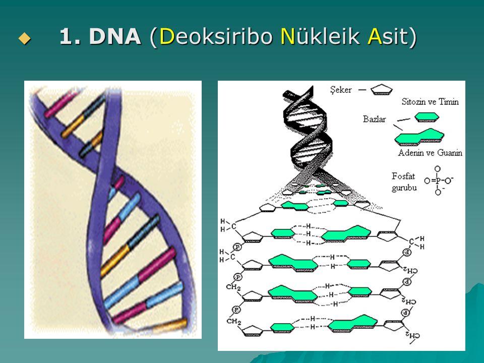 1. DNA (Deoksiribo Nükleik Asit)