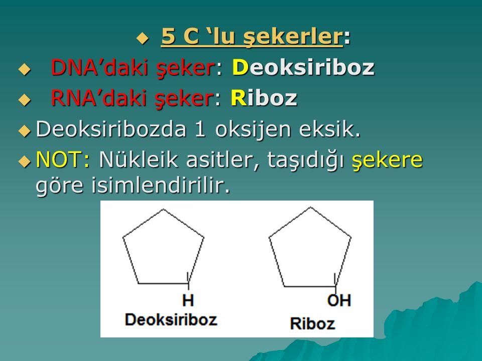 5 C 'lu şekerler: DNA'daki şeker: Deoksiriboz. RNA'daki şeker: Riboz. Deoksiribozda 1 oksijen eksik.