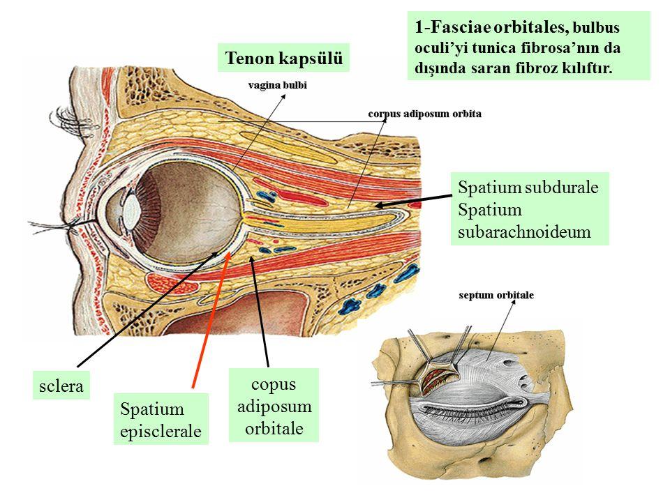 copus adiposum orbitale