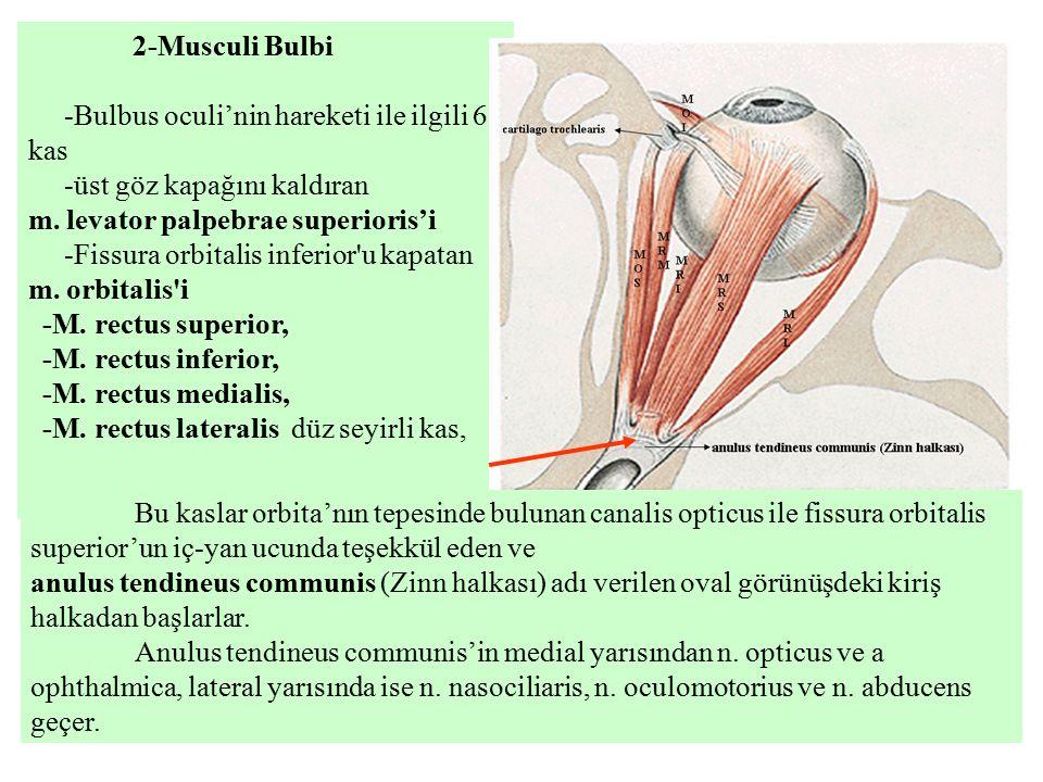 2-Musculi Bulbi -Bulbus oculi'nin hareketi ile ilgili 6 kas. -üst göz kapağını kaldıran. m. levator palpebrae superioris'i.