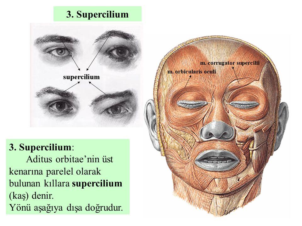 3. Supercilium 3. Supercilium: Aditus orbitae'nin üst kenarına parelel olarak bulunan kıllara supercilium (kaş) denir.