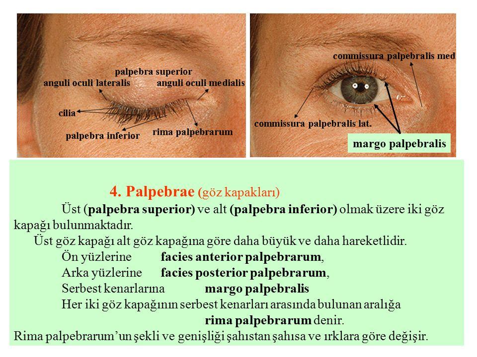 4. Palpebrae (göz kapakları)